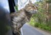 Travelling with a Cat in the Car