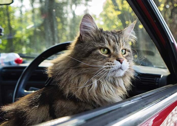 Cat in the Car